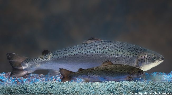 AquAdvantage salmon vs. regular Atlantic salmon