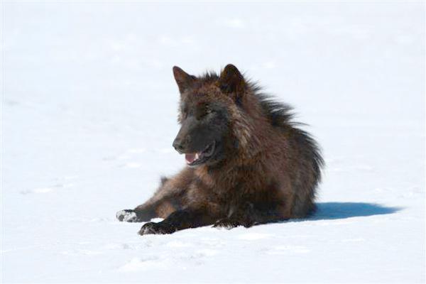 Minnesota Dnr To Debate Wolf Hunt Big Kype